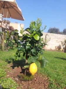 After 3 years of fruit less lemon trees I just couldn't help buying this little beauty with a giant lemon ready to harvest