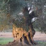 D3-VillaOttilia-olivträd-800%20(1%20av%201)